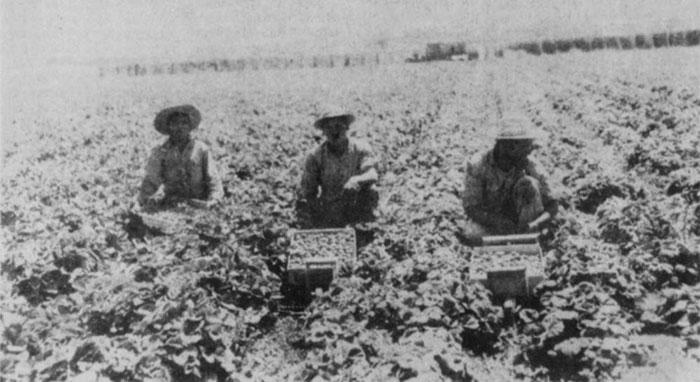 3 men in a field, each has a box where the picked crop is deposited.